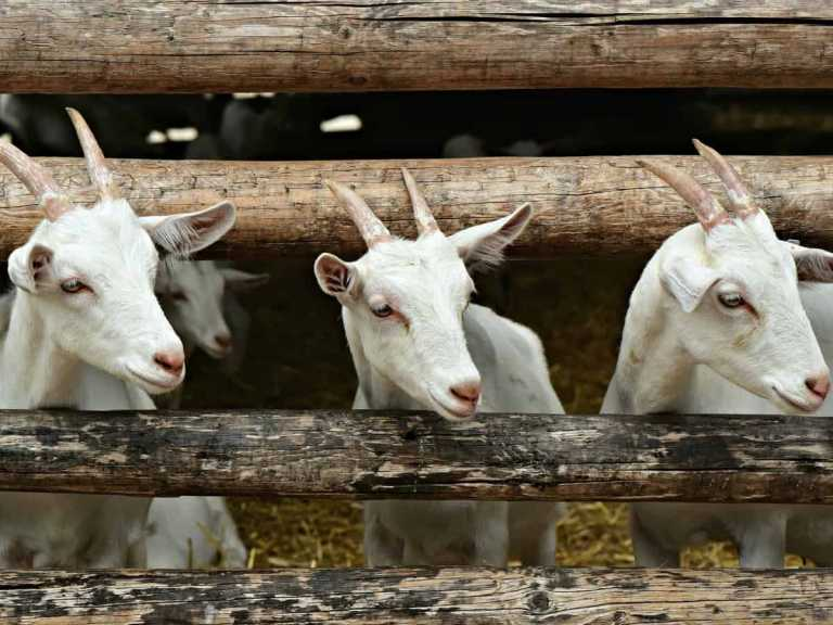 4 goats died days after goatherd tests positive for coronavirus